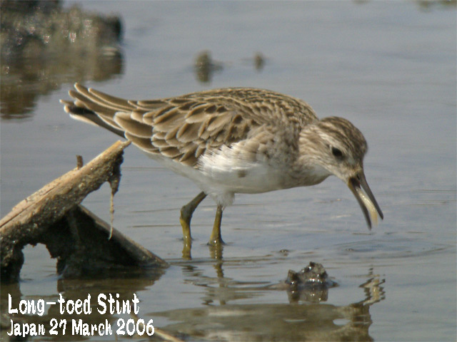 ヒバリシギ 1 Long-toed Stint 1_c0071489_10103242.jpg