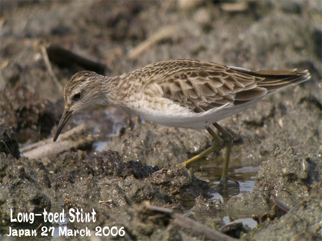 ヒバリシギ 1 Long-toed Stint 1_c0071489_1094167.jpg