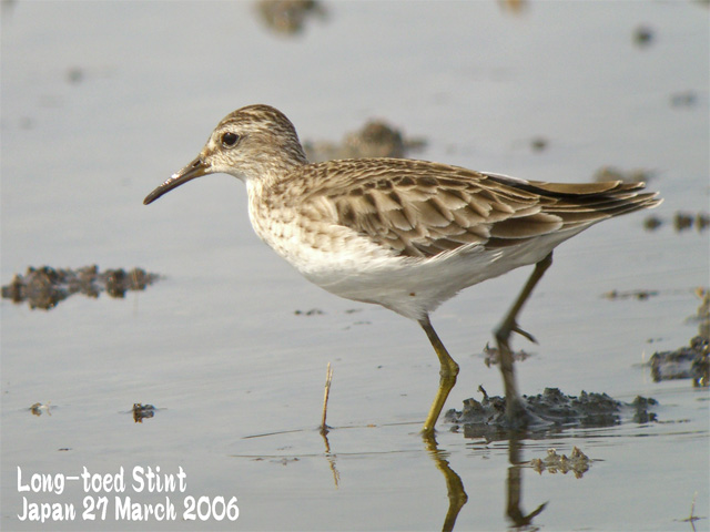 ヒバリシギ 1 Long-toed Stint 1_c0071489_1094787.jpg