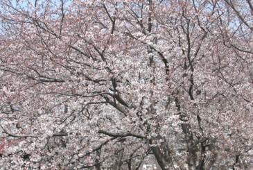 桜_f0100825_13483511.jpg