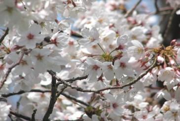 桜_f0100825_13484598.jpg