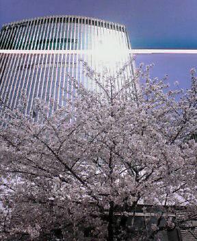 銀座の桜_d0004728_1012426.jpg