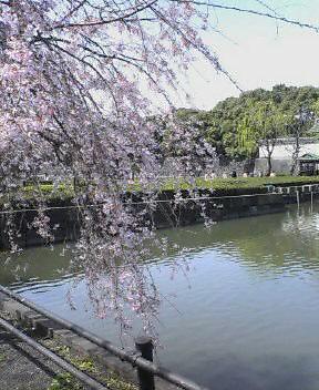 お堀の桜_d0004728_102144.jpg