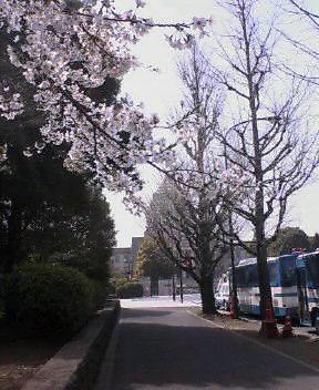 国会の桜_d0004728_130379.jpg
