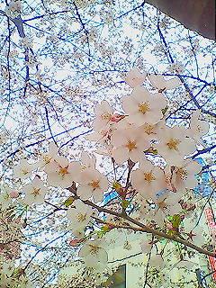桜まんかぁ~い♪。_e0083486_1210516.jpg