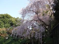 桜てんこもりのお散歩_e0065433_1946976.jpg
