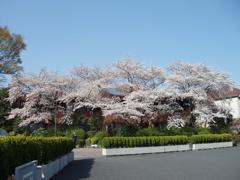 桜てんこもりのお散歩_e0065433_19491620.jpg