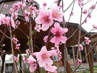 桃の花_c0069048_7171334.jpg