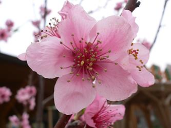 桃の花_c0069048_730617.jpg