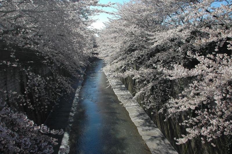 さくらサクラ桜 フレンド オブ イタバシ_f0050534_90646.jpg