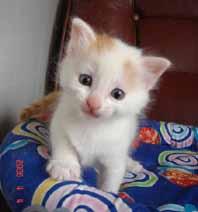 ターキッシュバン子猫4週目_e0033609_17323692.jpg