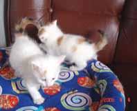 ターキッシュバン子猫4週目_e0033609_1732840.jpg