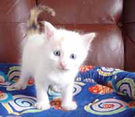 ターキッシュバン子猫4週目_e0033609_17335763.jpg