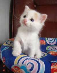 ターキッシュバン子猫4週目_e0033609_1733633.jpg