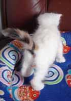 ターキッシュバン子猫4週目_e0033609_17343313.jpg
