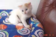 ターキッシュバン子猫4週目_e0033609_17503976.jpg
