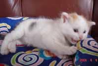 ターキッシュバン子猫4週目_e0033609_17514341.jpg