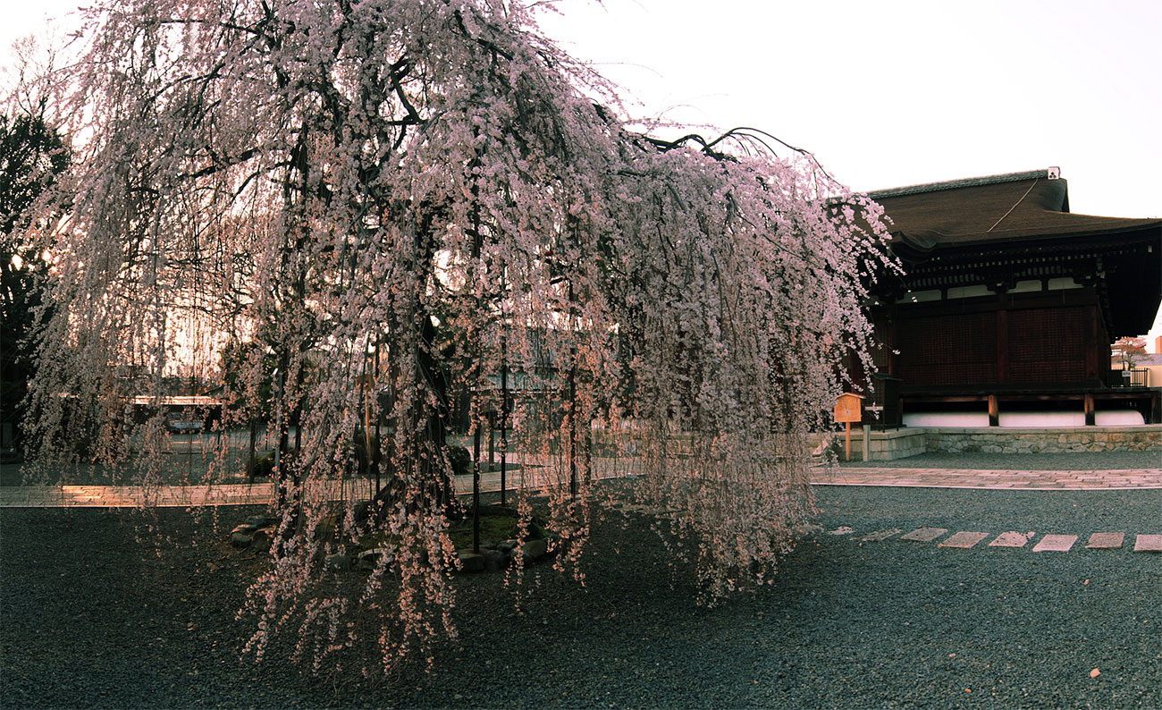 千本釈迦堂の阿亀桜_f0021869_133012.jpg