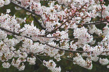 桜とブーゲンビレア_c0065512_19415171.jpg