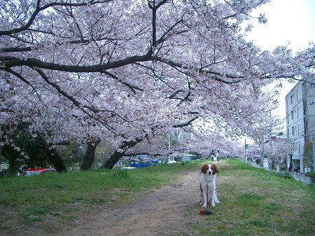桜とブーゲンビレア_c0065512_19461888.jpg