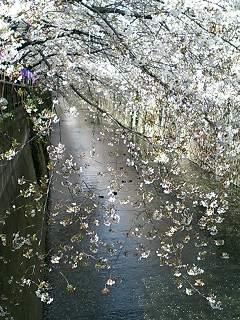 目黒川は「私の川」だと何百人が思っているか_f0064823_621572.jpg