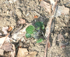 昨年より10日遅れでジャガイモの芽が出た!(06・4・4)_c0014967_1492493.jpg