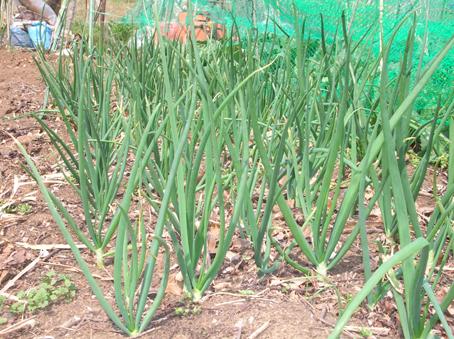 昨年より10日遅れでジャガイモの芽が出た!(06・4・4)_c0014967_151109.jpg