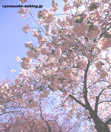 sakura part2 どちらがお好み?_f0031022_014197.jpg