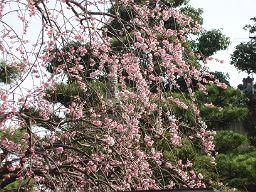 近所の桃の花_e0063268_15574847.jpg
