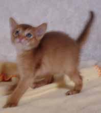 アビシニアン子猫4週目_e0033609_13552889.jpg