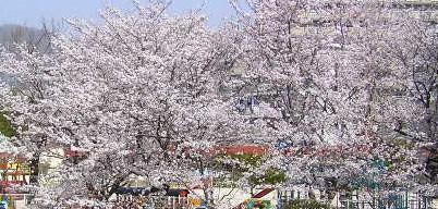 桜桜桜・・・犬_a0047200_7201860.jpg