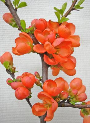 ボケ (植物)の画像 p1_10