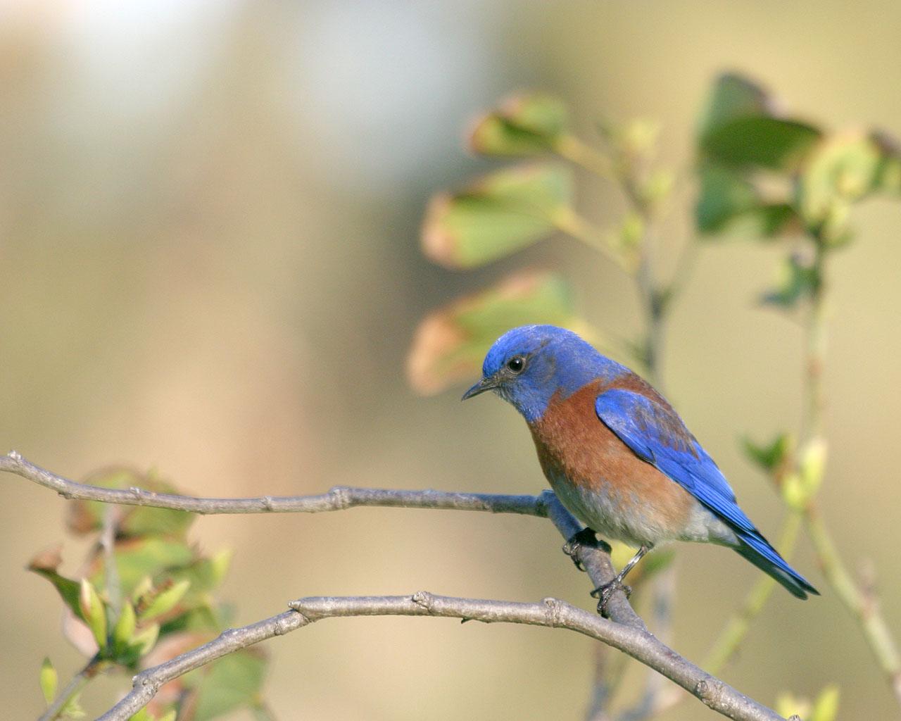 サンディエゴの青い鳥_f0105570_8393615.jpg