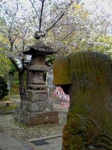 江ノ島のさくら_d0065257_0583046.jpg