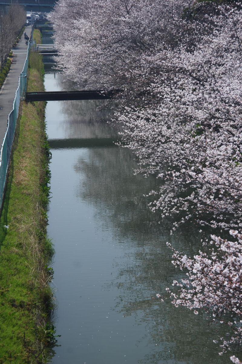 近所の桜 1_f0021869_23473366.jpg