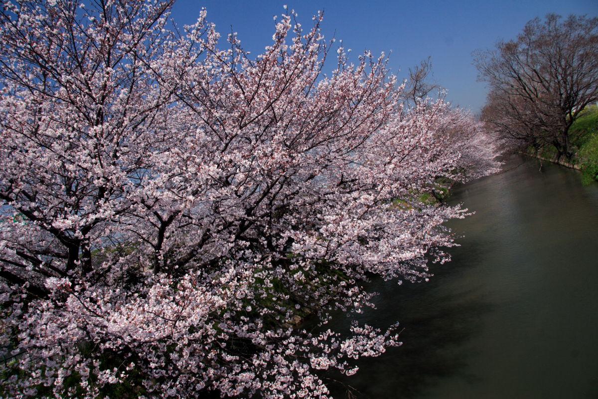 近所の桜 1_f0021869_024731.jpg