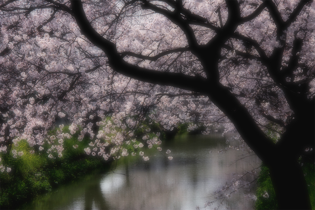 近所の桜 1_f0021869_063033.jpg