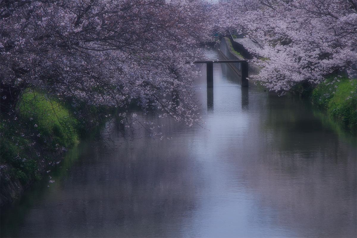 近所の桜 1_f0021869_06498.jpg
