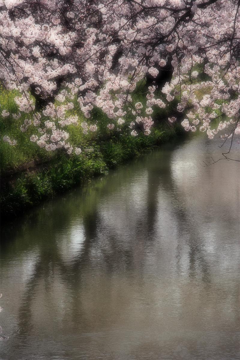 近所の桜 1_f0021869_073817.jpg