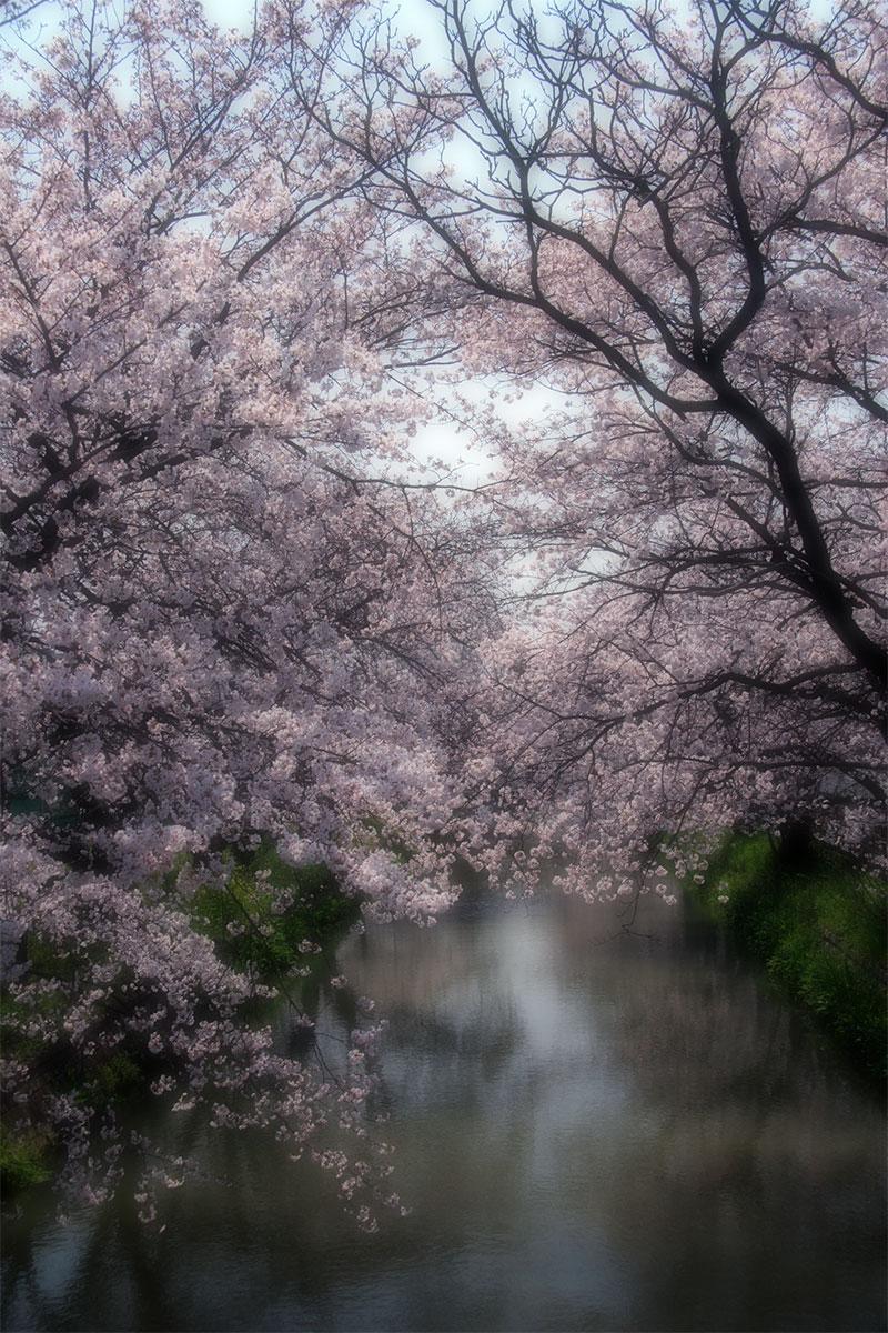 近所の桜 1_f0021869_0749.jpg