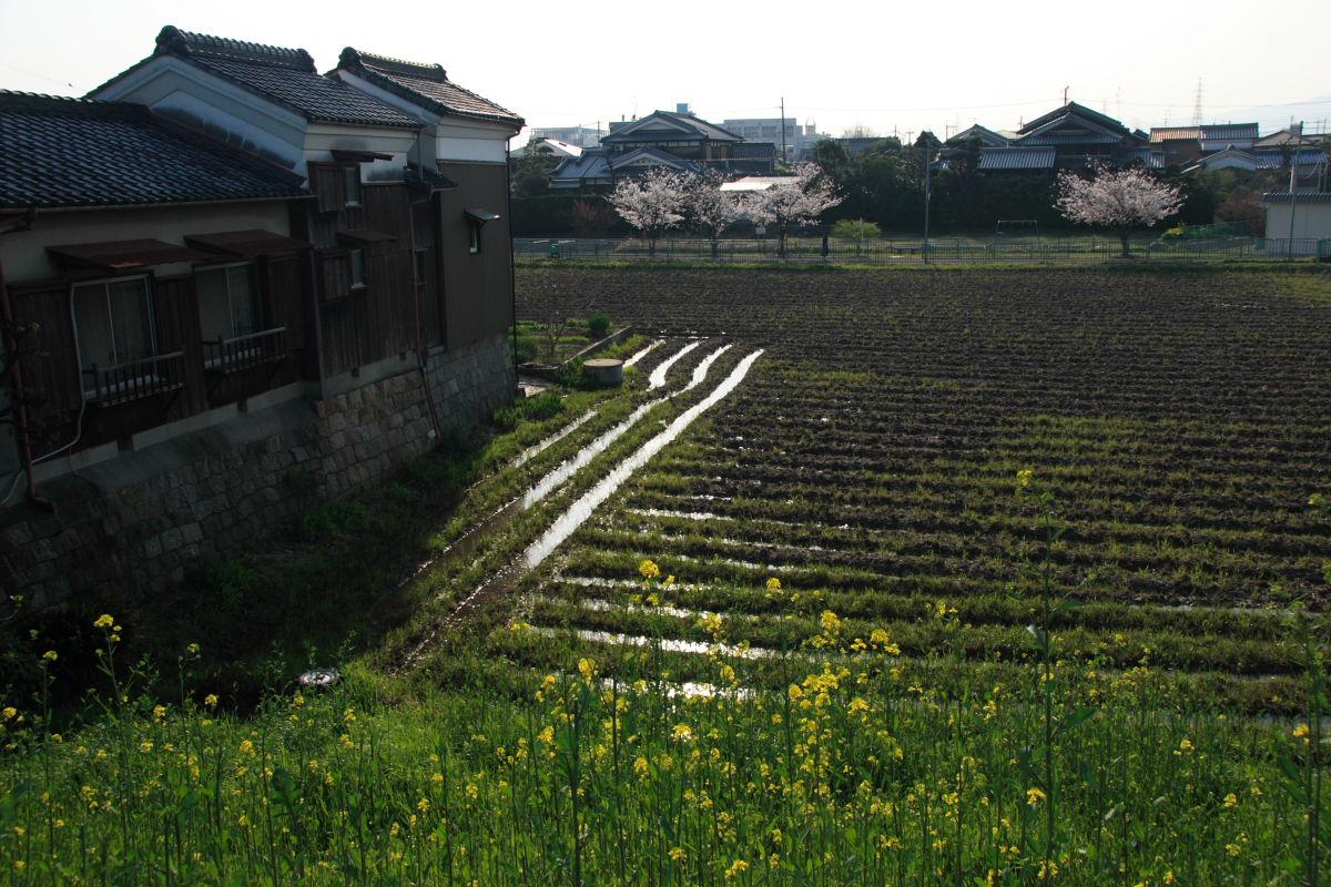 近所の菜の花_f0021869_23551749.jpg