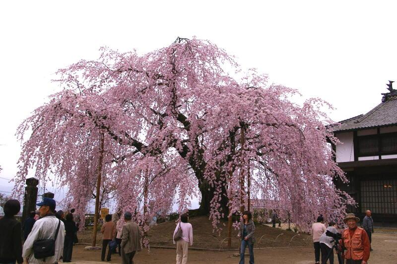 舞台桜_e0074463_20472962.jpg