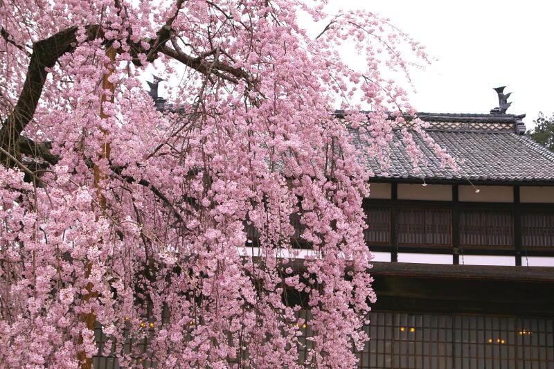舞台桜_e0074463_20473685.jpg
