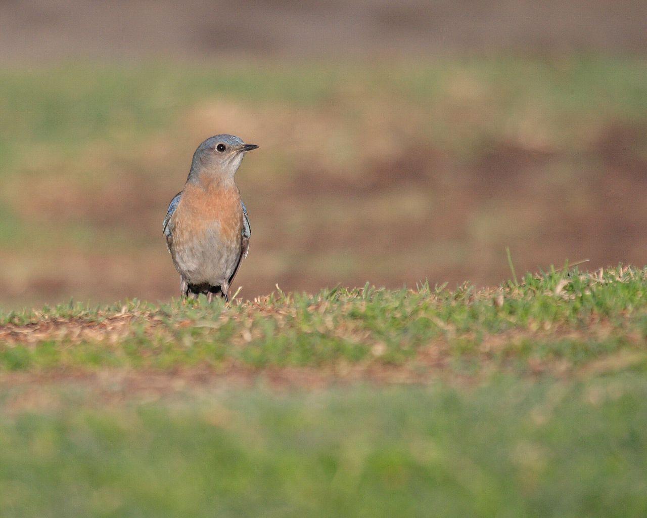 サンディエゴの青い鳥のお嫁さん_f0105570_2154029.jpg