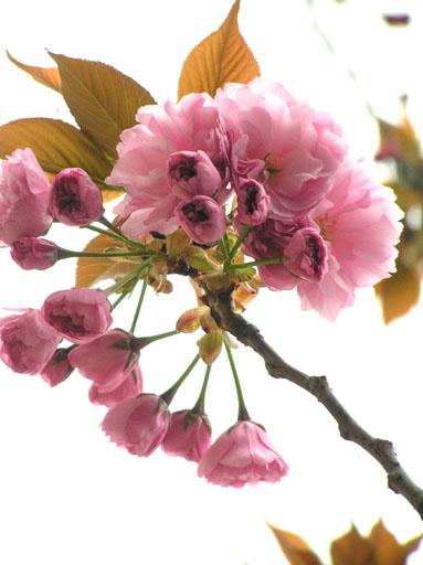 さくらもち 2006/4/13-thu_f0031535_9592187.jpg