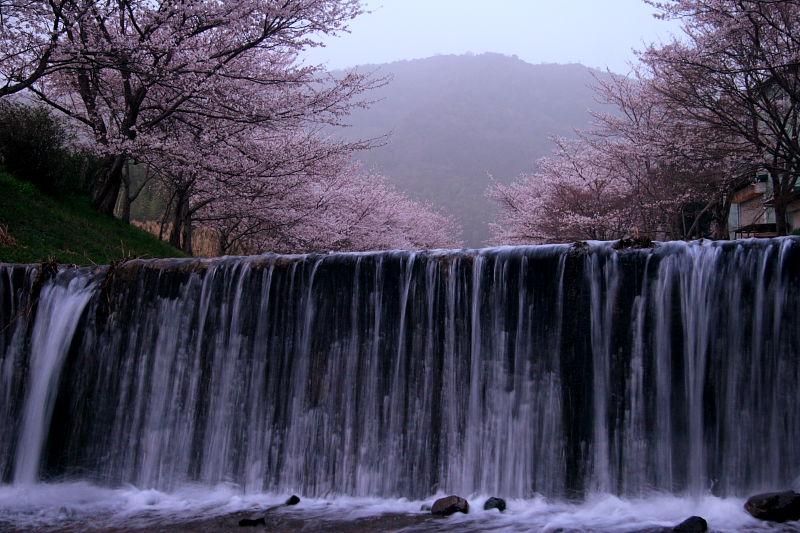 玉川の桜(井手町)_f0021869_23534873.jpg