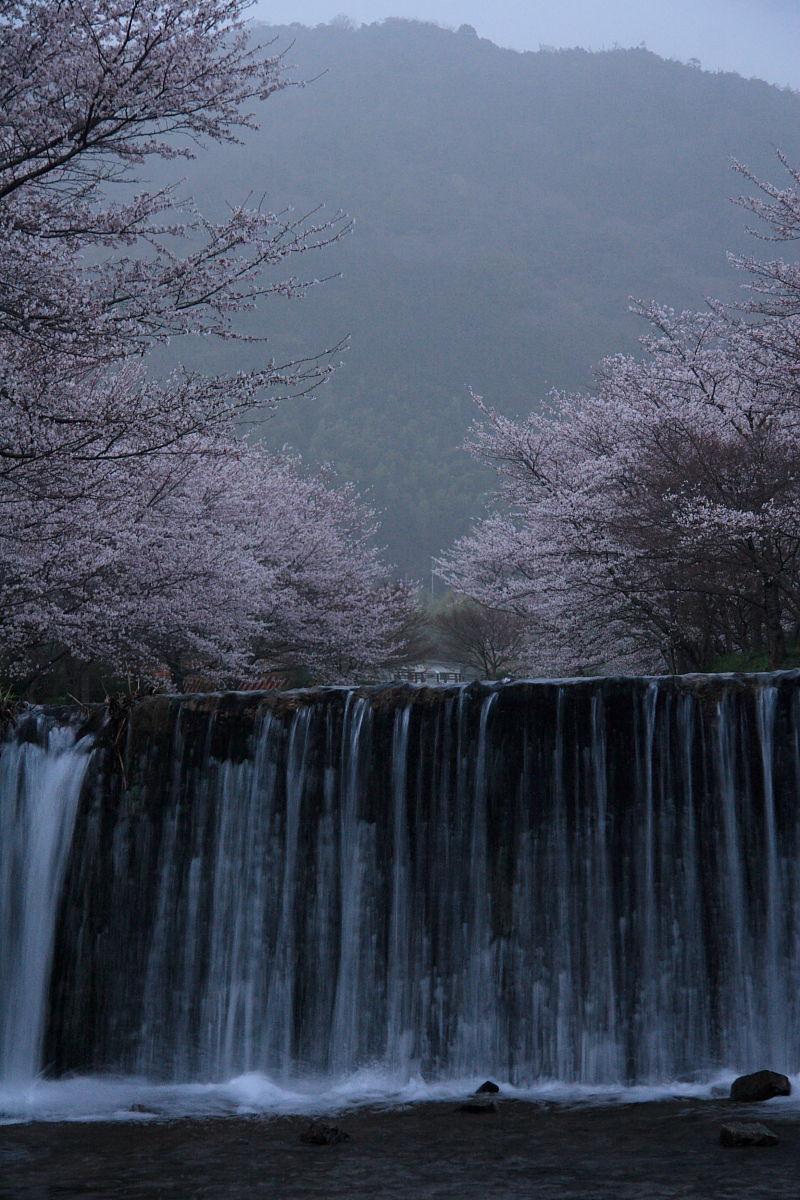 玉川の桜(井手町)_f0021869_23544290.jpg