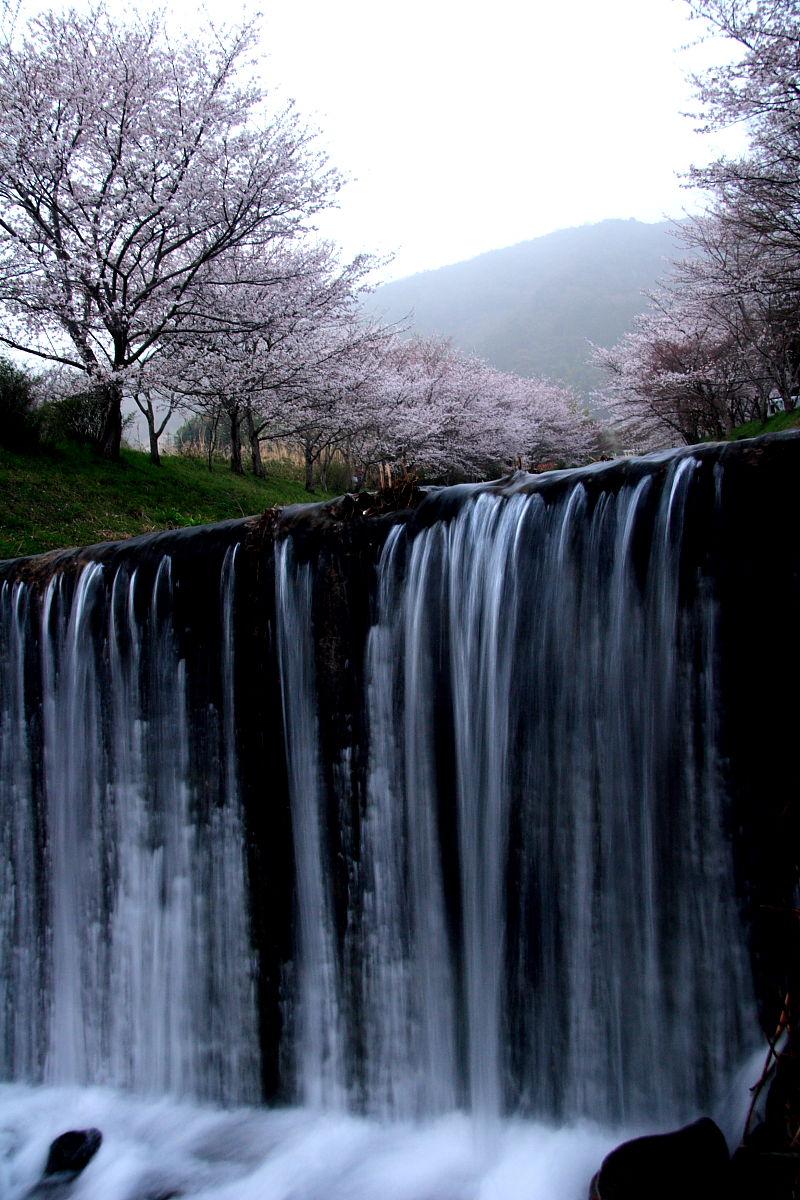 玉川の桜(井手町)_f0021869_2355732.jpg