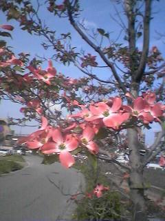 花みずきの咲く季節_b0072219_10252245.jpg