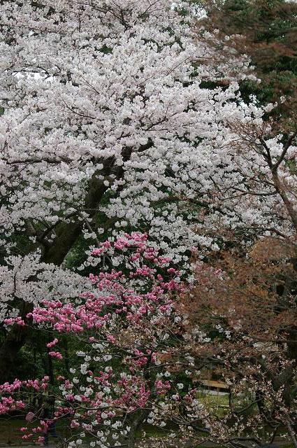桜の兼六園~金沢_d0043136_215113100.jpg